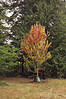 18' Maple Tree :  Contact Me