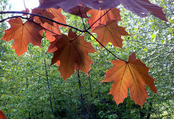 Norway Red Maples