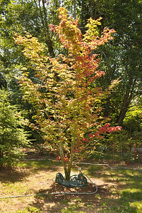 Pacific Vine Maple:  Rescued Late September 2011.  (3 of them).  This one has an Ooze Tube attached.   Fills to 25+ gallons of water.  Drains up to 3 1/2 Weeks.  This particular tree has more red in it than the others.  The leaves all appear dwarfed... probably because I cut the roots to move it.