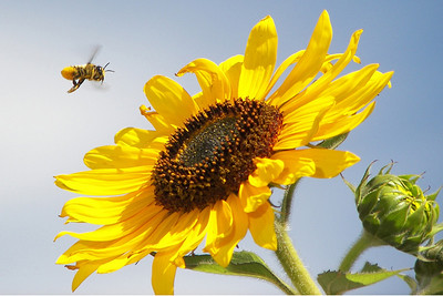 My sunflowers had seemed to draw lots of bees in the past.  The bee population is down.